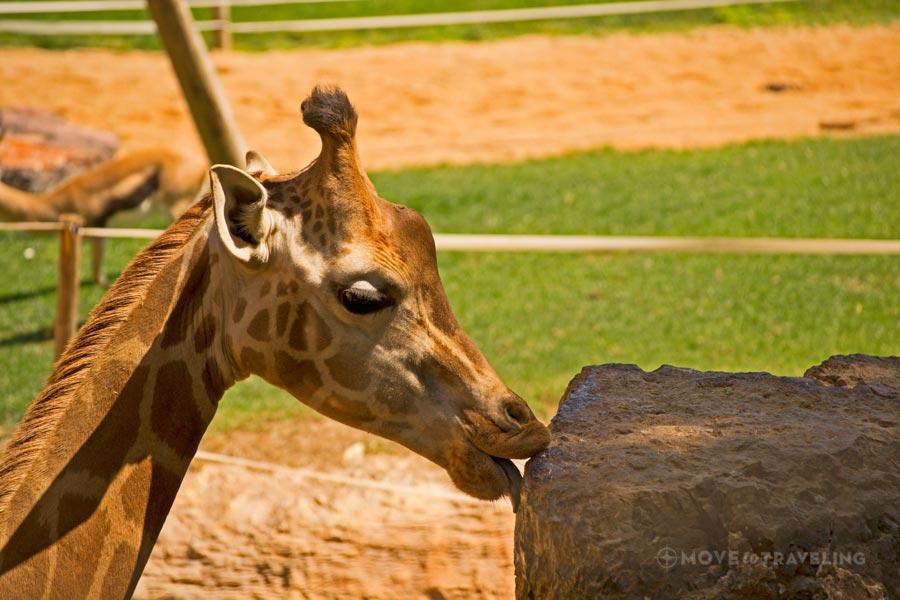 Valencia_Bioparc_BaringoGiraffes2_SavannahHabitat