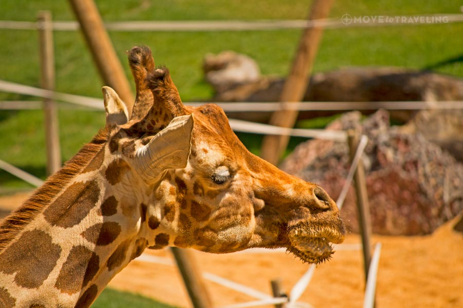 Valencia_Bioparc_BaringoGiraffes3_SavannahHabitat