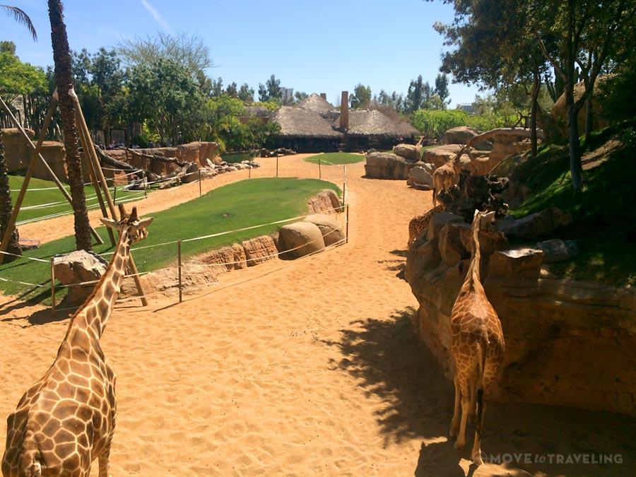 Valencia_Bioparc_BaringoGiraffes4_SavannahHabitat