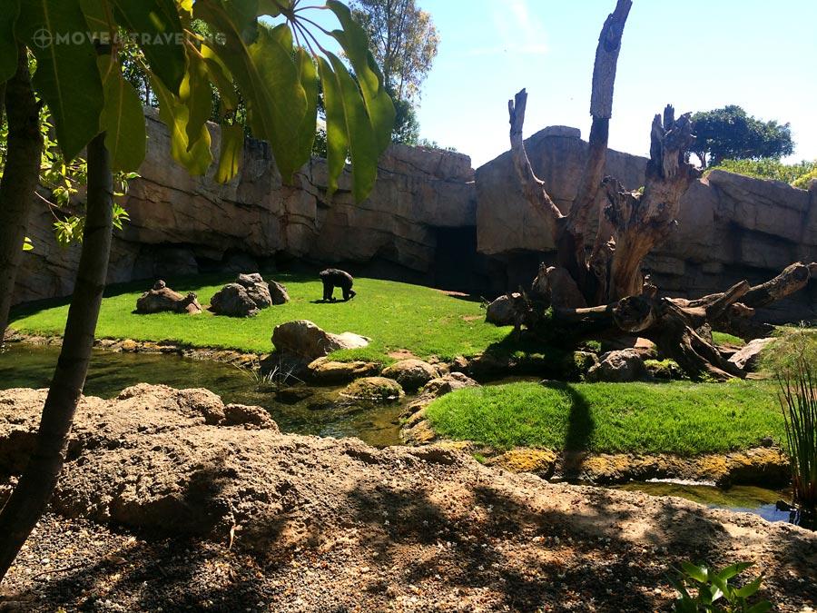 Valencia_Bioparc_Chimpanzees1_EquatorialForestHabitat