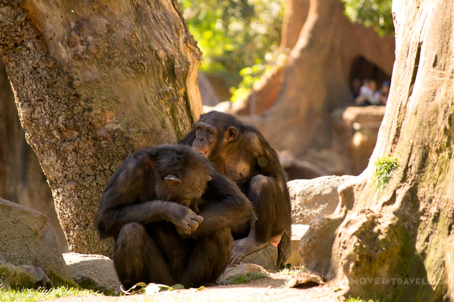 Valencia_Bioparc_Chimpanzees3_EquatorialForestHabitat
