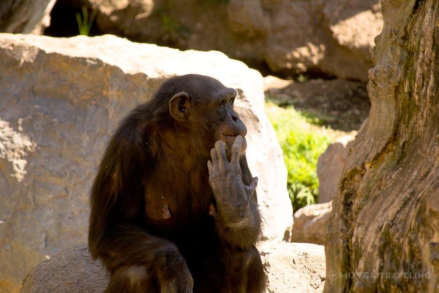 Valencia_Bioparc_Chimpanzees4_EquatorialForestHabitat