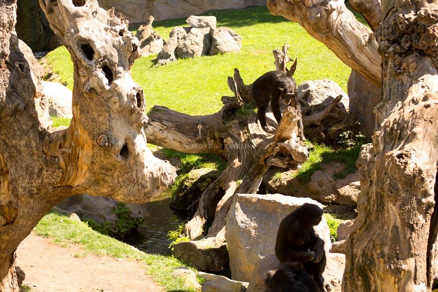 Valencia_Bioparc_Chimpanzees6_EquatorialForestHabitat