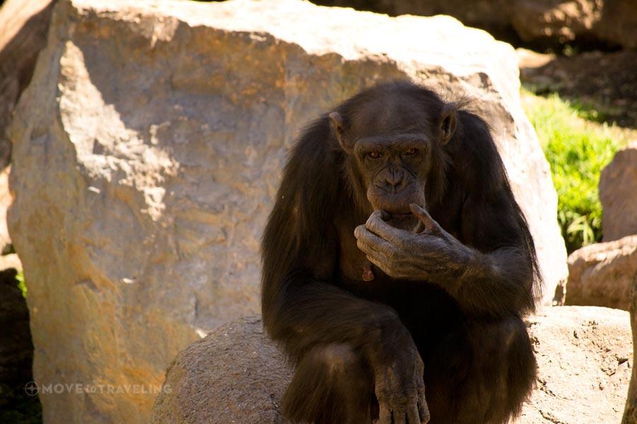 Valencia_Bioparc_Chimpanzees8_EquatorialForestHabitat