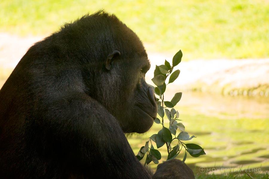 Valencia_Bioparc_Gorillas1_EquatorialForestHabitat