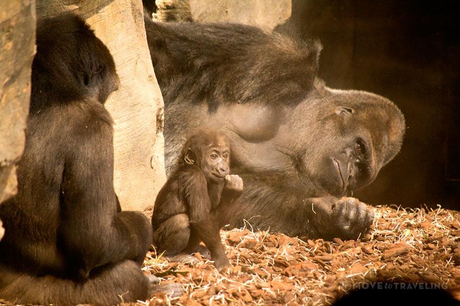 Valencia_Bioparc_Gorillas2_EquatorialForestHabitat