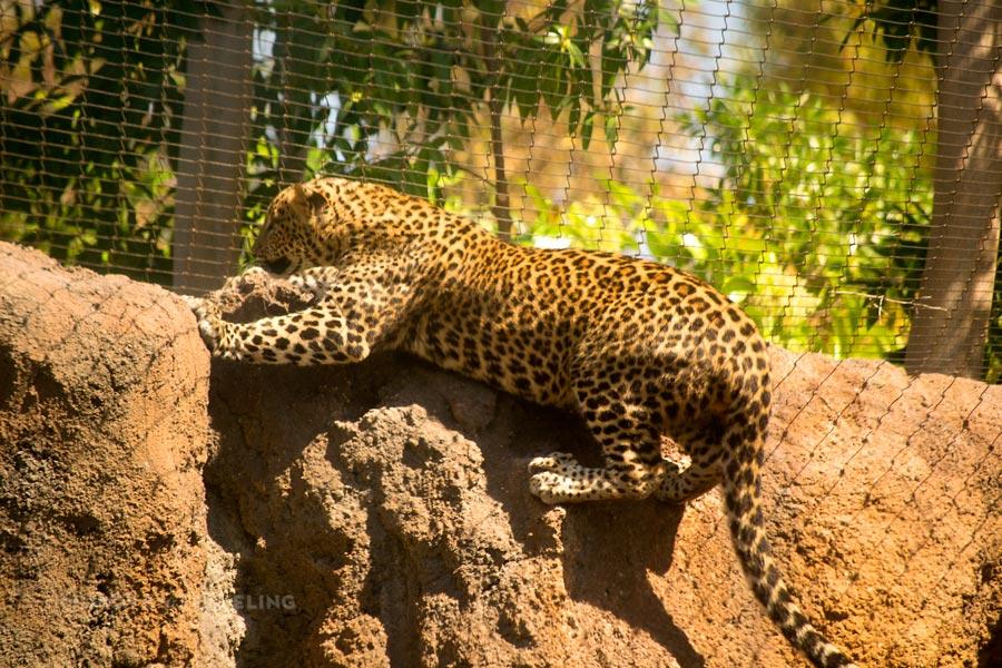 Valencia_Bioparc_Leopard2_EquatorialForestHabitat