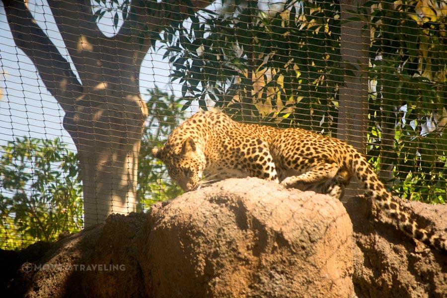 Valencia_Bioparc_Leopard3_EquatorialForestHabitat