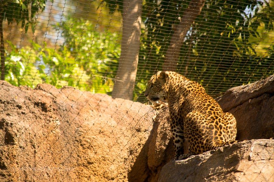 Valencia_Bioparc_Leopard5_EquatorialForestHabitat