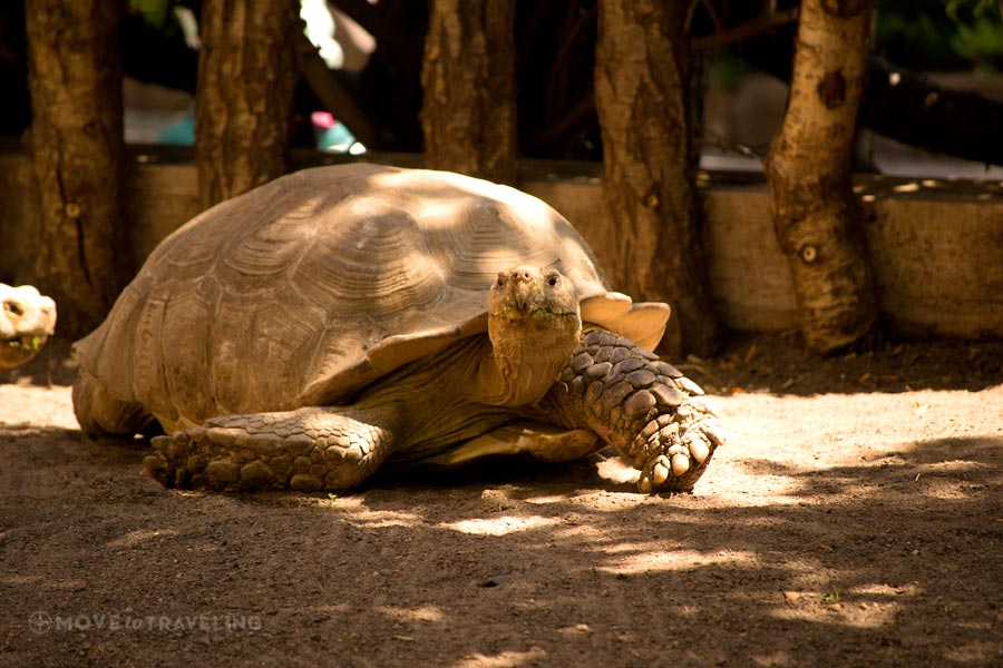 Valencia_Bioparc_LeopardTortoise2_EquatorialForestHabitat