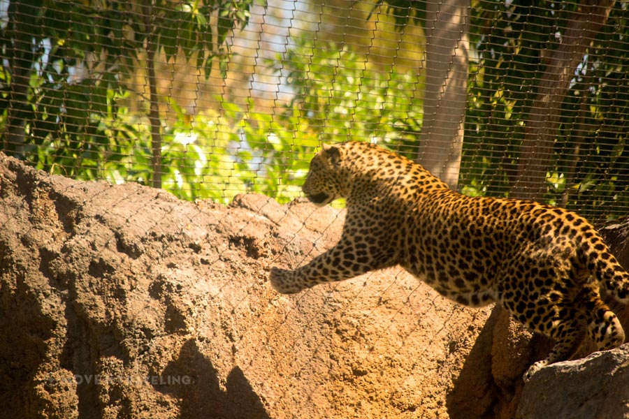 Valencia_Bioparc_Leopard_EquatorialForestHabitat