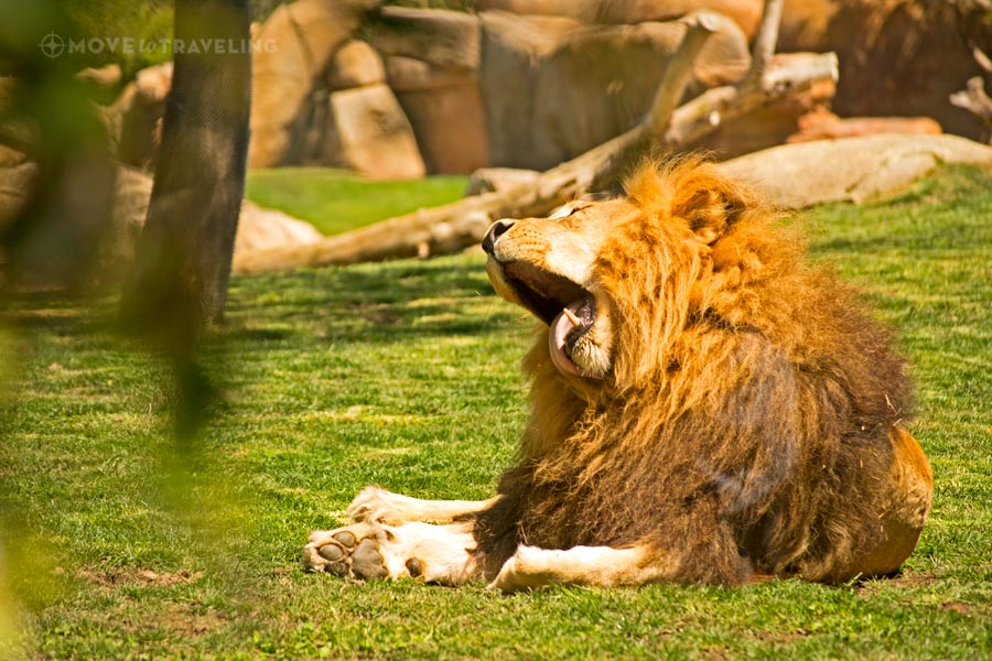 Valencia_Bioparc_Lion1_SavannahHabitat