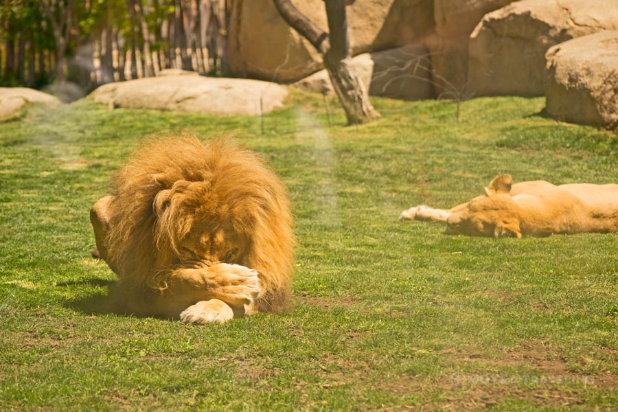 Valencia_Bioparc_Lion4_SavannahHabitat