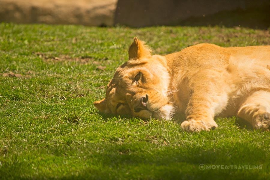Valencia_Bioparc_Lioness1_SavannahHabitat