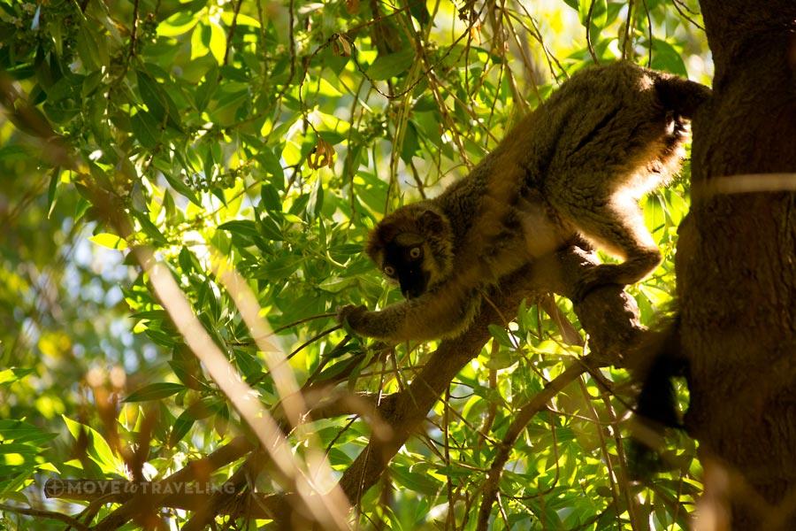 Valencia_Bioparc_MongooseLemur_MadagascarHabitat