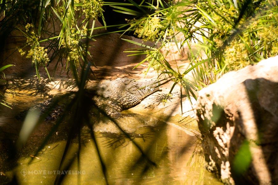 Valencia_Bioparc_NileCrocodile1_WetlandsHabitat