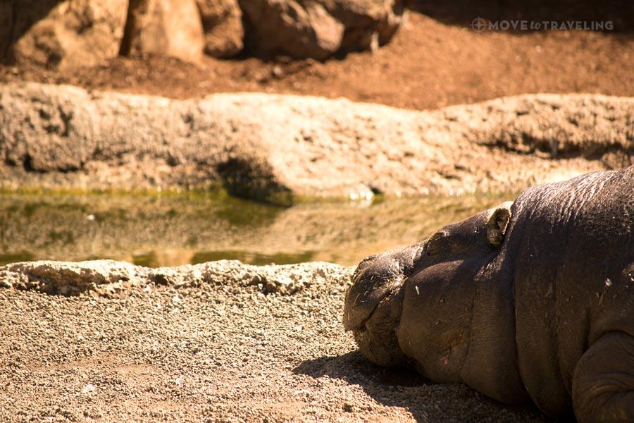 Valencia_Bioparc_PigmeHippopotamus1_EquatorialForestHabitat