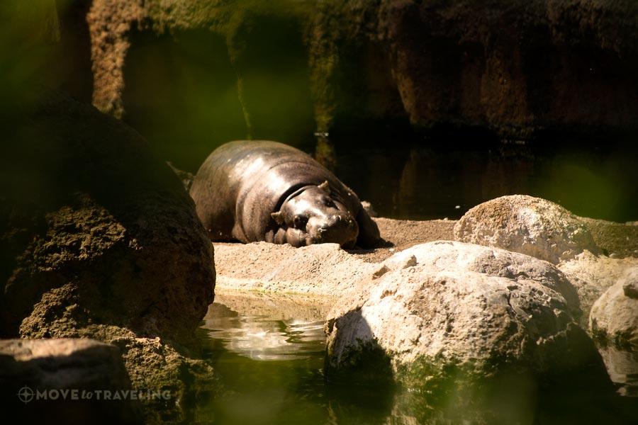 Valencia_Bioparc_PigmeHippopotamus2_EquatorialForestHabitat