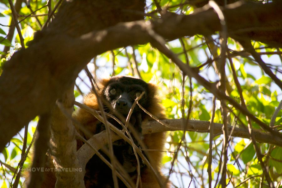 Valencia_Bioparc_RedBellyLemur_MadagascarHabitat