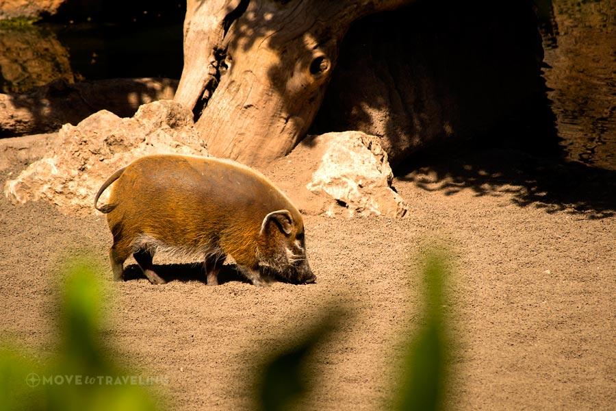 Valencia_Bioparc_RedRiverHogs1_EquatorialForestHabitat