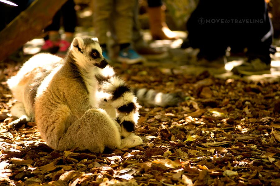 Valencia_Bioparc_RingTailedLemur2_MadagascarHabitat