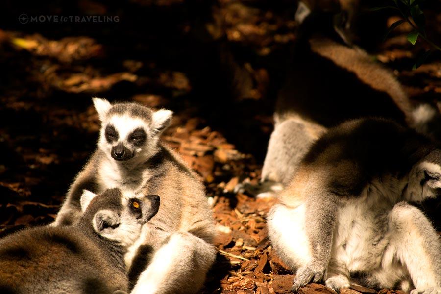 Valencia_Bioparc_RingTailedLemur4_MadagascarHabitat