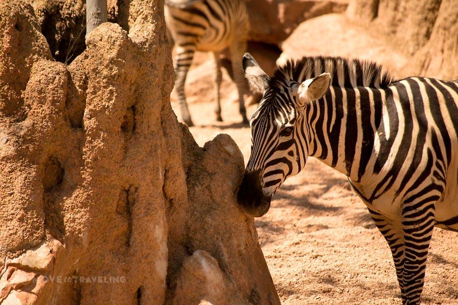 Valencia_Bioparc_Zebras1_SavannahHabitat