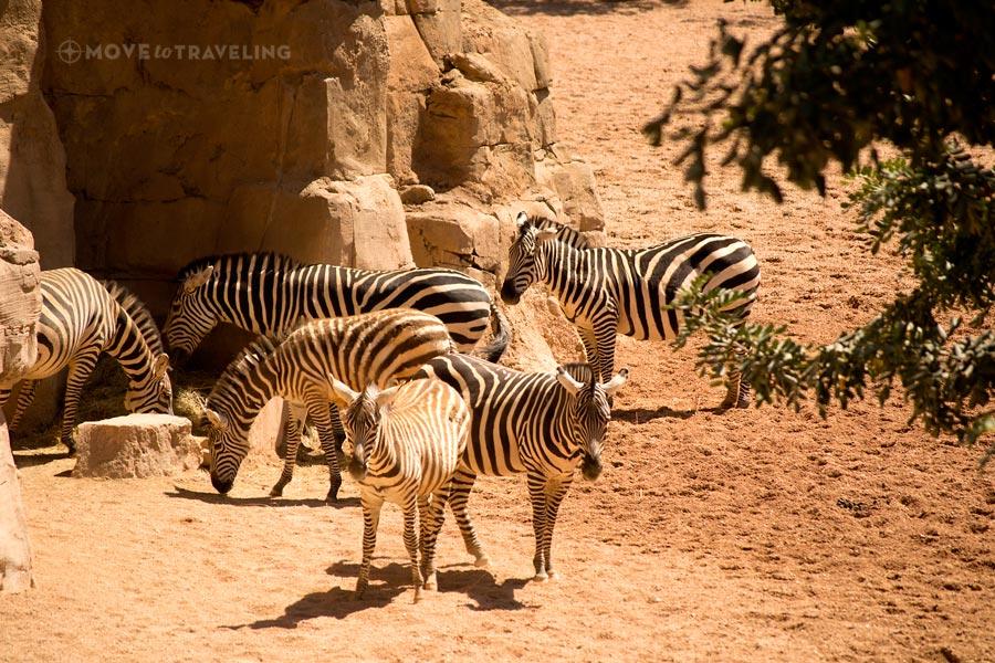 Valencia_Bioparc_Zebras2_SavannahHabitat
