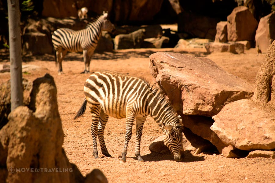 Valencia_Bioparc_Zebras3_SavannahHabitat