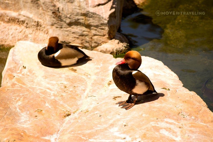 Valencia_Bioparc_ducks_SavannahHabitat
