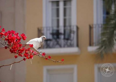 Visiting_Alicante_pigeon_red_flowers